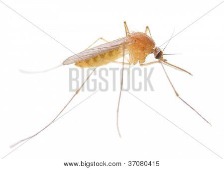 Anopheles mosquito - dangerous vehicle of infection.