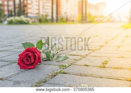 Discarded Red Rose Flower Lies On The Sidewalk Of A Pedestrian Path In A City Park