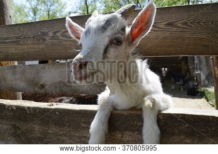 The Muzzle Of A Curious Goat. Pet, Close-up. Goat Near The Fence. Cute Herbivore.