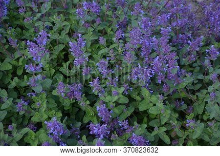 Nepeta Racemosa, The Raceme Catnip, Syn. N. Mussiniii, Is A Species Of Flowering Plant In The Family