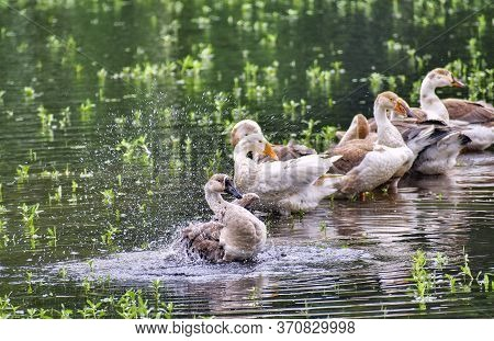 Ducks Are Refreshing Themselves.