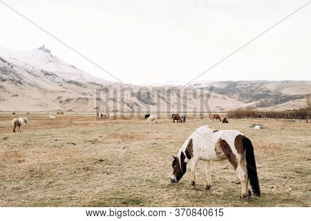 A Close-up Of A White Horse In Brown Spots, Against A Background Of A Herd Of Horses Freely Walking