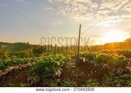 Beautiful Strawberries Farm In The Morning. Farm Concept.
