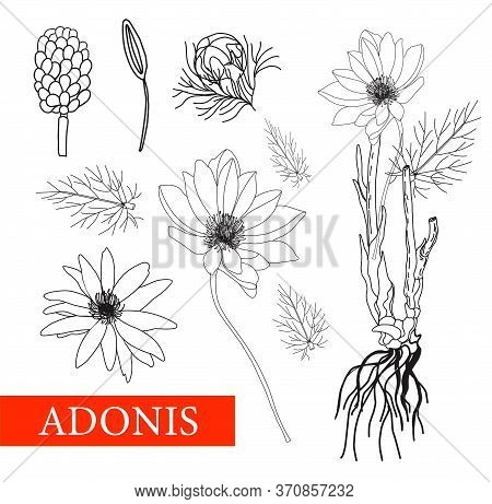 Adonis. Botanical Illustration. Folk Medicine, Treatment, Aromatherapy, Packaging Design, Field Bouq