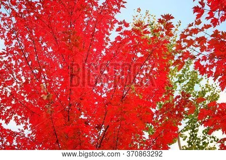 Red Maple Leaves In Nature, Autumn. Sunny Day, Warm Weather. City Autumn Park. September, October, N
