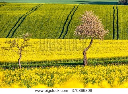 Spring Scenery, Summer Rural Landscape With Rape Field And White Flowering Cherry Tree. Rural Landsc