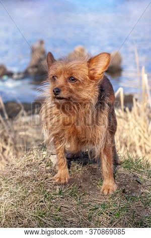 A Funny Hairy Little Dog Of The Yorkshire Terrier Breed Stands On A Mound Against The Background Of