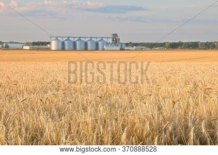 The Yellow Field Of Winter Wheat And A Number Of Granaries On The Horizon