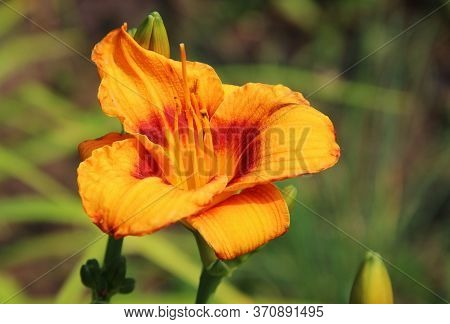 Closeup Image Of An Incredible Flower Golden-rayed Both Petals And Stamens.