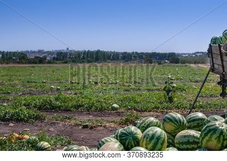 An Agricultural Watermelon Field, On Which Many Ripe Watermelons Grow. Nearby There Is A Truck On Wh