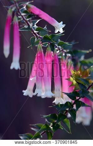 Pink, Red And White Bell-shaped Flowers Of The Australian Fuchsia Heath, Epacris Longiflora, Family