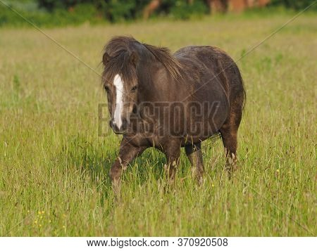 A Welsh Pony Stands In A Summer Meadow Of Very Long Grass.