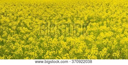 Rapeseed (brassica Napus ) Is A Bright Yellow Flowering Representative Of The Brassicaceae Family (f