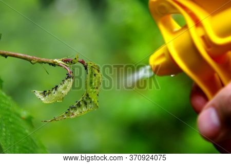 Pest Control On Plants. Spraying Aphids On The Leaves In The Home Garden. Protection Against Insects