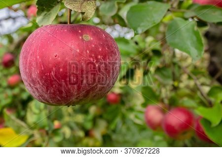 Fresh Red Juicy Apple In Organic Eco-friendly Garden. Close Up Apple On A Branch On A Tree. Branch W