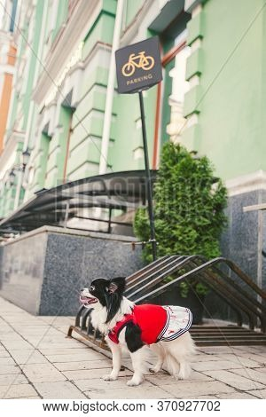 Dog Waiting For Owner, Tied To A Bicycle Parking Rack. Chihuahua Waiting For His Owner On Dog Parkin