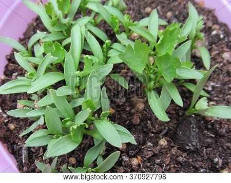Young coriander plants, grown from seed in a flower pot.