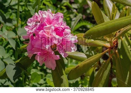 Blooming Rhododendron In The Garden. Close-up Pink Bush Of Evergreen Shrub.