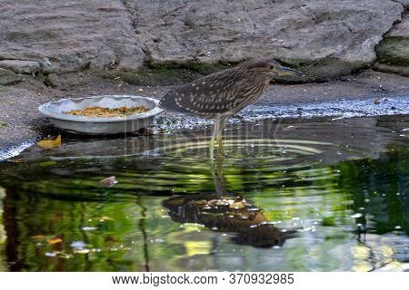 Carrier, Bird Of The Snipe Family. Sandpiper Is A Gray Bird In The Zoo Next To A Plate Of Food. Refl