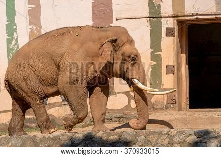 The Brown Elephant Walks Proudly Forward. An Animal With White Tusks Near The Wall. Summer Sunny Day