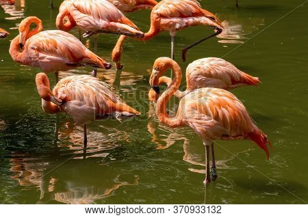 Beautiful Pink Flamingos Stands In The Water. A Group Of Birds Stands With Reflection In The Water.