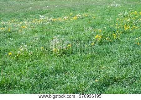 An Uncultivated Meadow In Springtime With Yellow Dandelions And White Flowers Of Wild Carrots