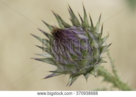 A Shallow Depth Of Field, Macro Photograph Of The Thorny Flower Of Th Artichoke Cotton-thistle, Phot