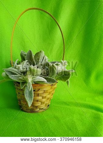 Plant Woolly Stachys With Soft Fluffy Leaves In A Wicker Basket On A Green Background. Selective Foc