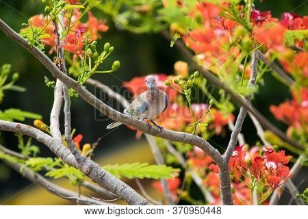 Laughing Dove (streptopelia Senegalensis) Perching On Tree With Bright Reddish-orange Flowers