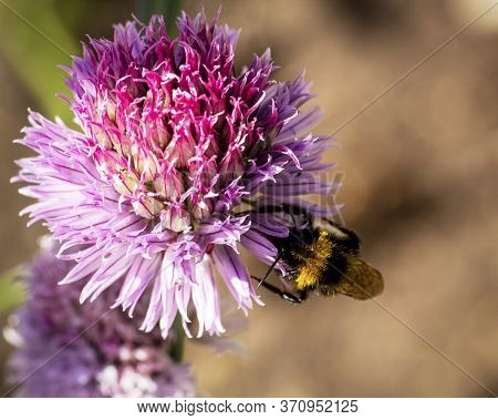 Bumble Bee With Head In A Chive Flower Collecting Nectar