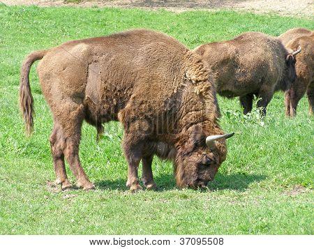Aurochs (european bison) family in the captivity