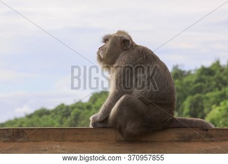 Side View Profile Of Macaque Staring In The Distance While Sitting On A Wall At Uluwatu Temple, Bali
