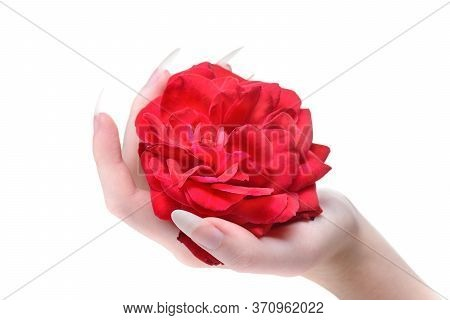 Beautiful Girl Hands Holding Red Rose. Rose In The Hands Girl Close-up. Natural Manicure Nails. Beau