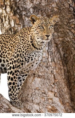 One Adult Leopard With Long Whiskers Standing In A Tree In Samburu Reserve Kenya