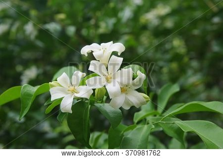 Andaman Satinwood, Chanese Box Tree, Cosmetic Bark Tree, Orange Jasmine, Orange Jessamine, Satin Woo