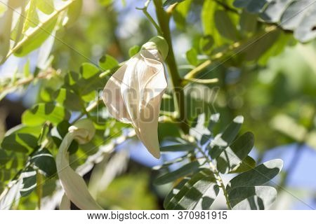 Agasta, Sesban, Vegetable Humming Bird, Butterfly Tree, Agati Bloom With Sunlight On Blur Nature Bac