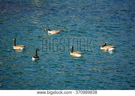 A Flock Of Canada Geese (branta Canadensis) Swims In The Mackinac Island State Harbor Of Mackinac Is