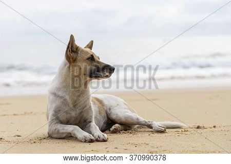 Homeless Dog On Brown Sand Beach. Homeless Dog Relaxing On Brown Sand Tropical Beach.