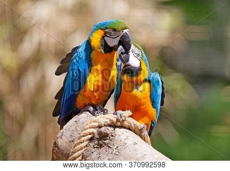 Couple Of Parrots Kissing - Blue And Gold Macaw