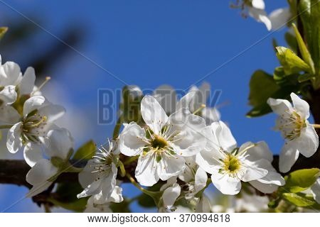 White Plum Blossom Petals With Stamens Covered With Yellow Quart Pollen Are Waiting For Bees.