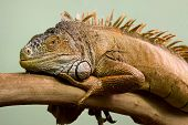Big lizard sleeping on the branch close-up isolated background poster