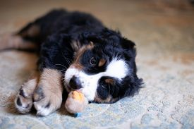 Adorable Bernese Mountain Dog Puppy Indoor. Cute And Small Bernese Puppy. Nice Puppy Lying On The Fl