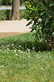 Landscape With Small White Flowers On A Green Lawn. Barcelona