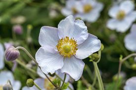 Anemone Rivularis A White Blue Herbaceous Perennial Summer Autumn Flower Plant Commonly Known As Riv