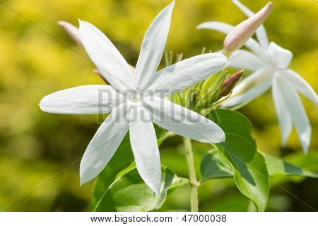 Jasmine Flowers On A Bright Sunny Day Close Up