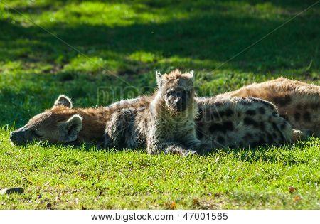 Resting Hyenas