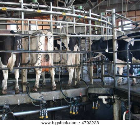 Holstein Cows after milking in a rotary dairy poster