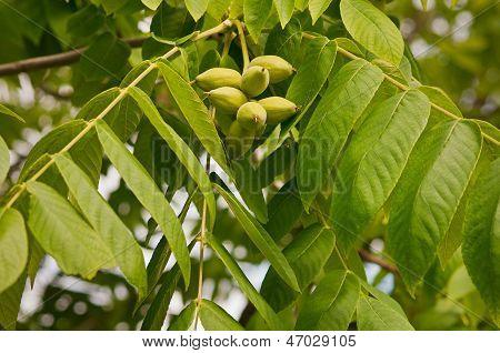 Juglans Mandshurica, Manchurian Walnut