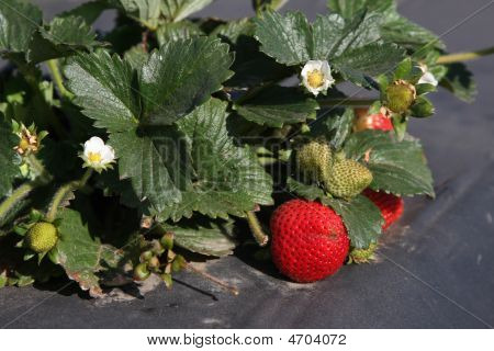Strawberry Plant In The Feild