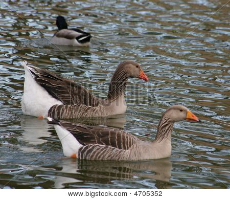 Geese And Duck